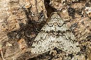 Toothed Phigalia - Hodges#6659 (Phigalia denticulata)<br /> United States: Alabama: Tuscaloosa Co.<br /> Tulip Tree Springs off Echola Rd.; Elrod<br /> 2-Feb-2018<br /> J.C. Abbott #3023