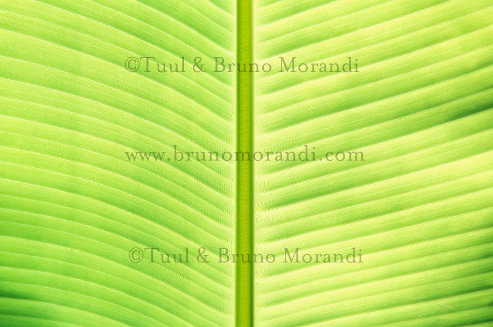 Cambodge, Feuille de bananier // Banana leaf, Cambodia