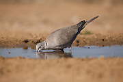 Collared Dove (Streptopelia decaocto) drinking water in the desert, Negev, Israel