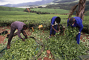 Sorting freshly picked tea leaves on the plantation of the Tshivhase Tea Estate in Venda (North Transvaal), South Africa.