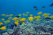 yellow tangs, Zebrasoma flavescens, and sailfin tangs, Zebrosoma veliferum, swim across coral reef, Puako, Kona, Hawaii ( Central Pacific Ocean )