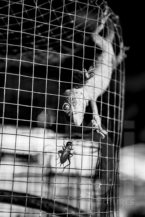 Lizard in a cage, Yogyakarta, Indonesia, Southeast Asia