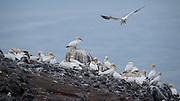 Northern Gannet, Morus bassanus,