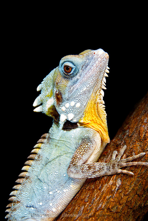 Boyd's Forest Dragon (Hypsilurus boydii) is a nocturnal arboreal lizard native to northern Queensland, Australia.  This individual is a male, distinguished by his blue colouring.