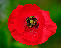 Red Poppy. Image taken with a Fuji X-H1 camera and 200 mm f/2 lens + 1.4x teleconverter (ISO 200, 280 mm, f/3.2, 1/450 sec).