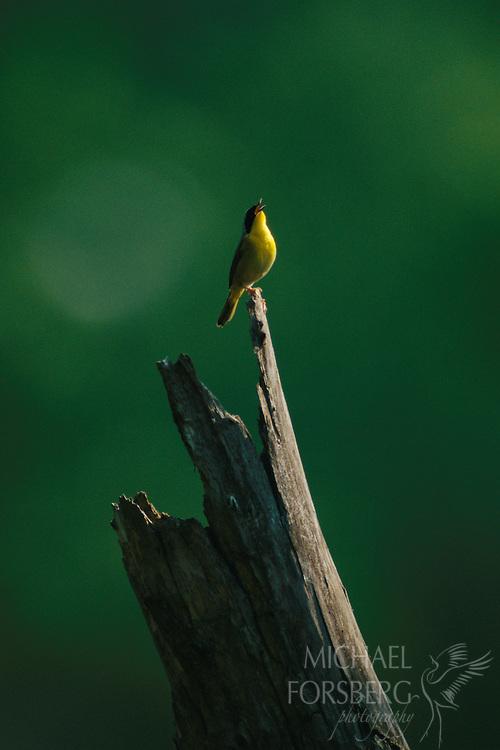 Common yellowthroat singing from old tree stump, Fontenelle forest, Nebraska.