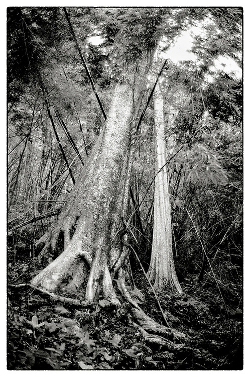 """An impenetrable bamboo forest in the grounds of the Pha Koeng Buddhist temple, Chaiyaphum Province, Northeast Thailand, 2011. From the series """"Pha Koeng"""" (2013-2017). (2011-2017)."""