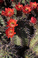 Claret Cup Cactus, (Echinocereus coccineus), at Big Bend Ranch State Park, Texas