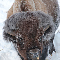 Bison foraging in the snow. Lamar Valley, Yellowstone National Park, Wyoming.