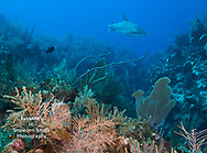 "Grand Cayman - ""East Side Reef Scene"" - A Caribbean reef shark approaches a coral reef at Jack McKenney's dive site."