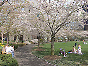 people enjoying the warm spring weather by sitting under flowering cherry trees