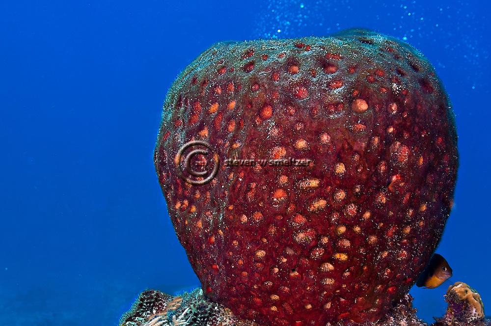 Leathery Barrel Sponge, Geodia neptuni, (Sollas, 1888), Grand Cayman