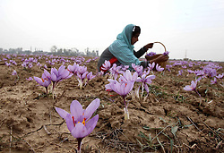Saffron Flowers. <br /> 60682406 <br /> A Kashmiri villager picks saffron flowers in a saffron field in Pampore, 25 kilometres south of Srinagar, the summer capital of Indian-controlled Kashmir, Nov. 6, 2013. Harvest season of saffron has come in the region. The saffron of Kashmir is famous for its high crocin content, Wednesday, 6th November 2013. Picture by  imago / i-Images<br /> UK ONLY