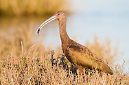 A white-faced ibis catches a small fish for dinner
