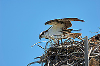 Osprey Pandion haliaetus nesting on pole near the Fishing Pier Sanibel Island Florida USA