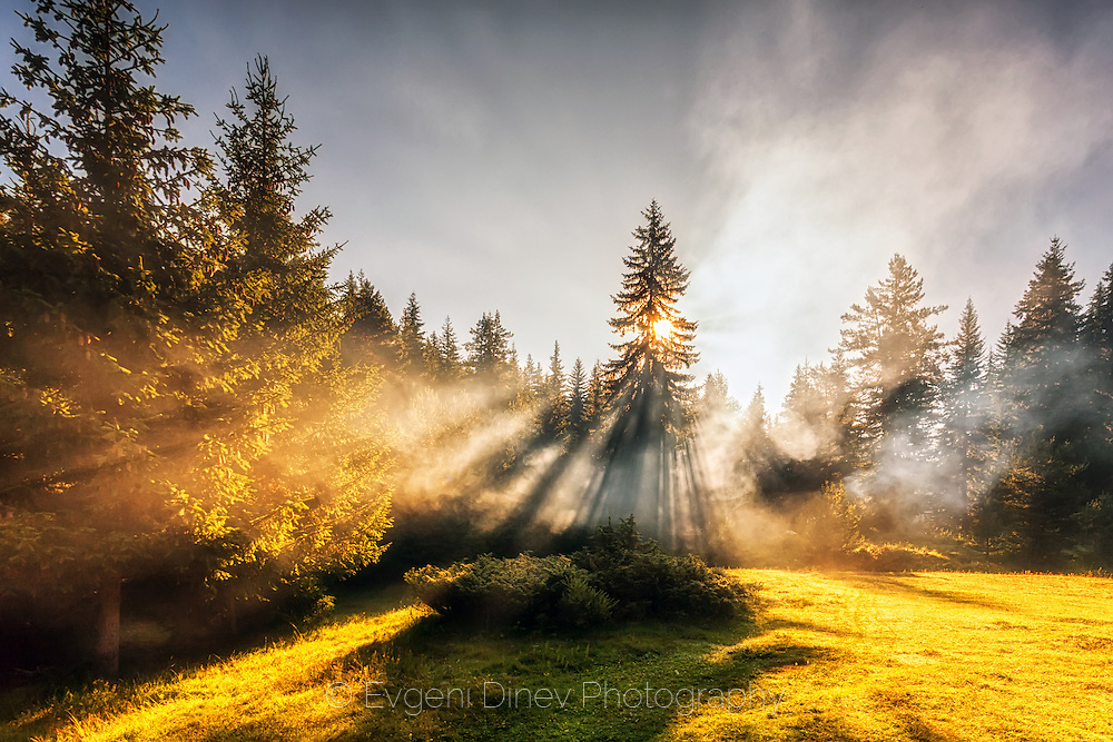 Sunbeams through a pine tree at sunrise