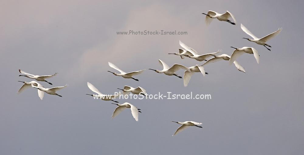 Common Spoonbill (Platalea leucorodia) flock in flight, north Israel