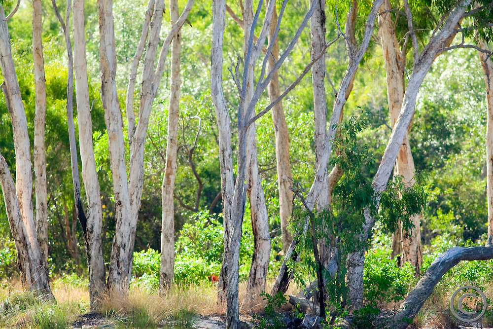 Eucalyptus trees glow in the soft early morning light of the Aurukun Wetlands, remote Cape York, far northern Queensland, Australia.