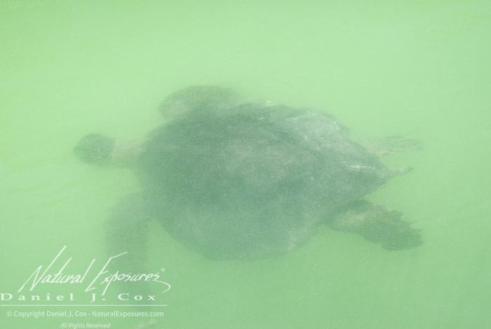 Green Sea Turtle (Chelonia mydas) in a mangrove swamp. Galapagos, Ecuador.