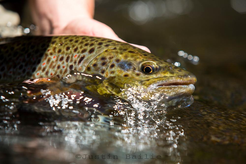 Brown trout. Central Oregon.