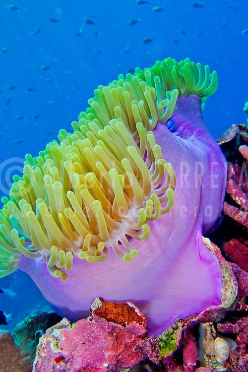 Magnificent Sea anemone, Ritteri anemone,Heteractis magnifica, Bunaken National Marine Park, Bunaken, North Sulawesi, Indonesia, Asia