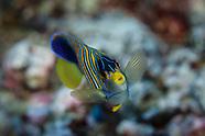 Pygoplites dicanthus (Regal Angelfish)