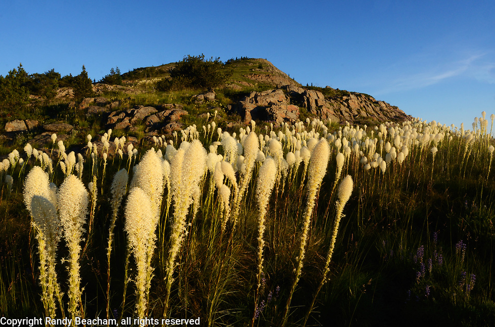 Beargrass at sunrise below Grizzly Peak in summer. Grizzly Peak Roadless Area in the Purcell Mountains, northwest Montana.