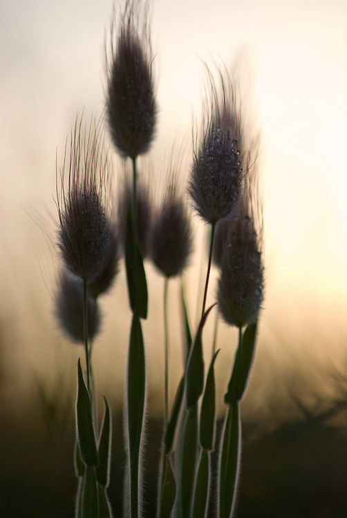 Hare's tail grass (Lagurus sp.) Apulia; Gargano National Park; Gargano Peninsula; Italy;
