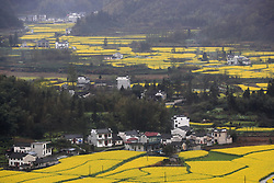 March 29, 2019 - Huangsha, Huangsha, China - Huangshan,CHINA-Scenery of blooming rapeseed flowers in Huangshan, east China's Anhui Province. (Credit Image: © SIPA Asia via ZUMA Wire)