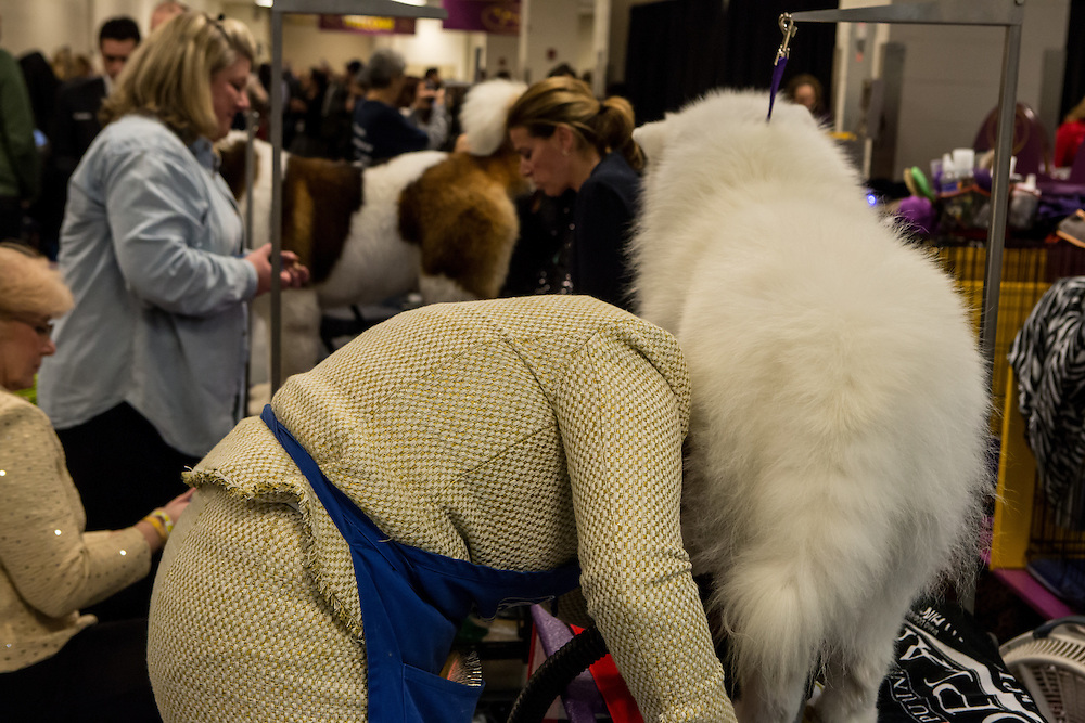 New York, NY - 16 February 2016. A woman's head appears buried in the thick coat of a Great Pyrenees in the benching area of the 140th Westminster Kennel Club Dog show in Madison Square Garden.
