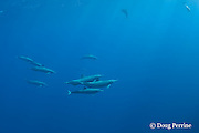 Eastern spinner dolphins, Stenella longirostris orientalis, pod with pregnant females, off Baja California, near Cabo San Lucas, Mexico ( Eastern Pacific Ocean )