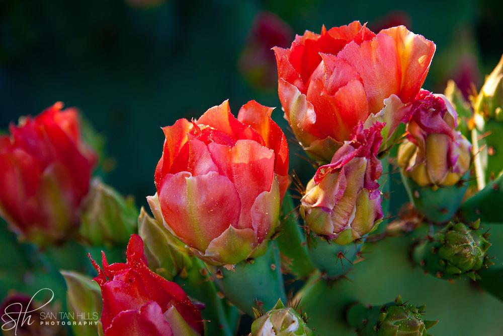 Cactus in Bloom - Arizona