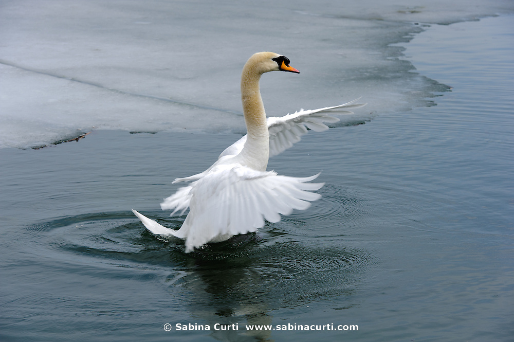 Mute Swans, flapping wings