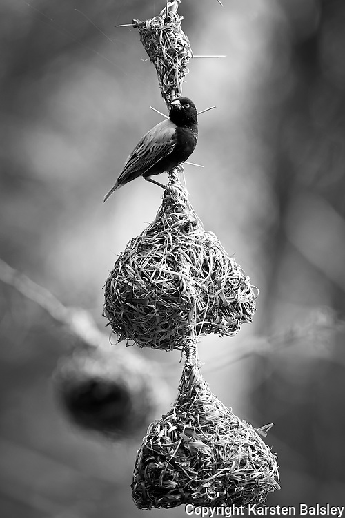 &ldquo;Lake Eyasi Birdhouse&rdquo;<br />  The male Weaver bird constructs these small engineering feats in the hopes of finding a female that approves of their future home.