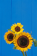 Sunflowers and blue fence in backyard<br /> Winnipeg<br /> Manitoba<br /> Canada