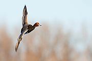 Redhead, Aythya americana, male, Detroit River, Ontario