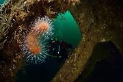 Dead man's fingers  (Alcyonium digitatum), Atlantic Ocean, Strømsholmen, North West Norway | Die Tote Meerhand (Alcyonium digitatum), auch Tote Mannshand oder Nordische Korkkoralle, ist eine Lederkoralle (Alcyoniidae), die auch vor der norwegischen Küste zu finden ist.