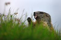 Alpine Marmot (Marmota marmota) feeding on flowers on a highland meadow. Hohe Tauern National Park, Carinthia, Austria