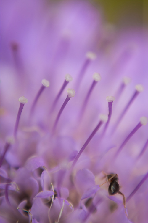 Macro floral image of a lavender scabiosa.