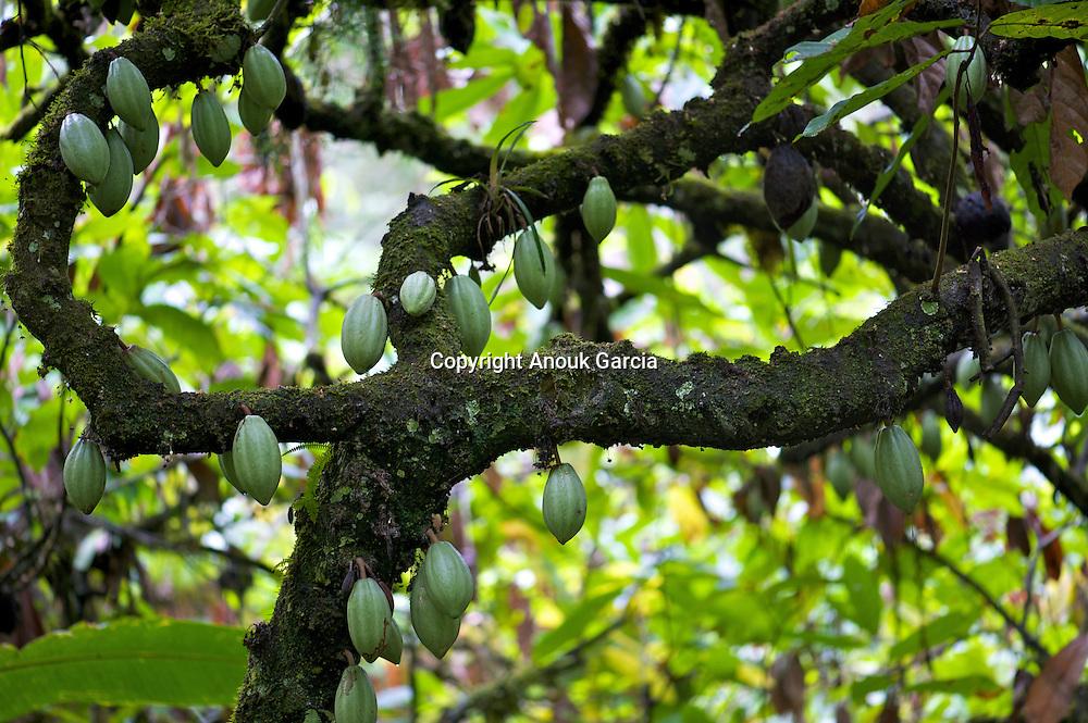 Les cabosses de cacao poussent directement sur le tronc des arbres///Dent cocoa push directly on the trunk of the trees.