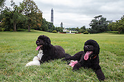 19.AUGUST.2013. WASHINGTON D.C.<br /> <br /> BO, LEFT, AND SUNNY, THE OBAMA FAMILY DOGS, ON THE SOUTH LAWN OF THE WHITE HOUSE<br /> <br /> BYLINE: EDBIMAGEARCHIVE.CO.UK<br /> <br /> *THIS IMAGE IS STRICTLY FOR UK NEWSPAPERS AND MAGAZINES ONLY*<br /> *FOR WORLD WIDE SALES AND WEB USE PLEASE CONTACT EDBIMAGEARCHIVE - 0208 954 5968*