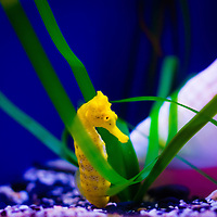 TAMPA, FL -- Sea horses hang out in a tank at the Florida Aquarium in Tampa, Florida.  The aquarium boast numerous exhibits and ecosystems such as the Wetlands Trail, Bays and Beaches, Coral Reef, and Ocean Commotion.  (Photo / Chip Litherland)