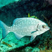 Bermuda-Gray Chub, visually cannot be reliably distinguished, inhabit reefs and adjacent areas in Tropical Atlantic, also circumtropical; picture taken Key Largo, FL.