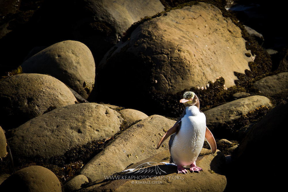 Yellow-eyed Penguin, Te Rere Scientific Reserve, New Zealand