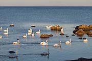 Skillinge. Wild swans.