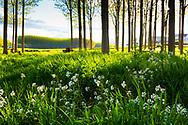 Poplar grove near Ega river. Murieta, Navarre. Spain, Europe.