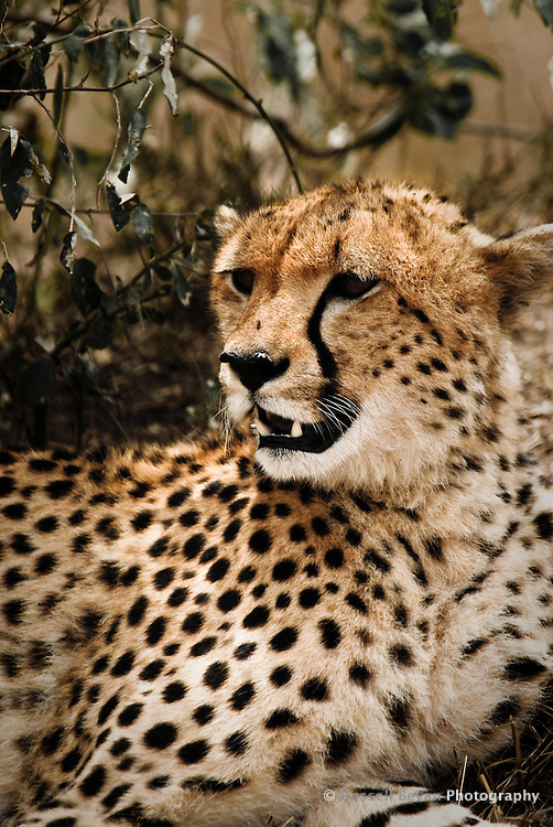 A resting Cheetah in the Masai Mara National Park, Kenya