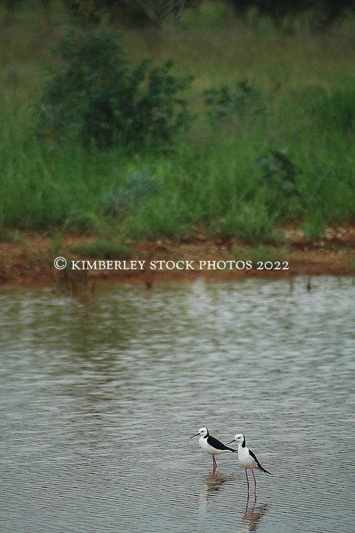 A pair of Black-winged Stilts (Himantopus himantopus)  at Mt Hart Station in the wet season.