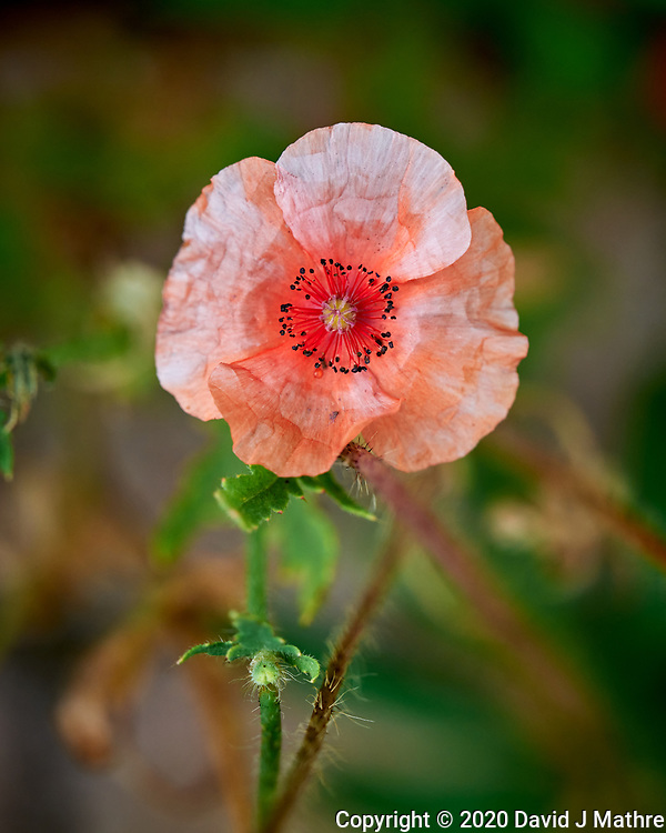 Pink Poppy. Image taken with a Leica SL2 camera and 24-90 mm lens.