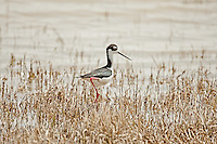 In northern Utah the end of April and the first of May bring large numbers of shore bird that you can find in the refuges and marshes around the Great Salt Lake.